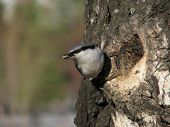 Nuthatch with peeled seed