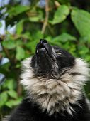 Muzzle of the ruffed lemur