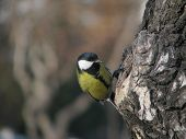 Tomtit sits near hollow