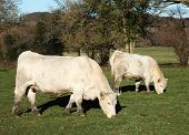 picture of charolais  - A white Charolais beef cow and her calf standing sideways in the sun grazing in a paddock - JPG