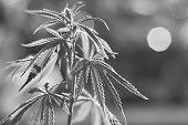 Marijuana Cannabis Herbalat. Marijuana Leaf Background Wallpaper, Cannabis Hemp Leaf poster