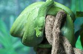picture of green tree python  - Australian Green Tree Python curled around a branch - JPG