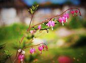 "stock photo of broken heart flower  - flower ""Broken Heart"" close-up on a soft background ** Note: Slight graininess, best at smaller sizes - JPG"