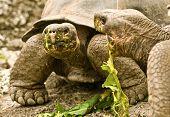 Two Giant Tortoises Eating