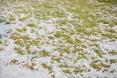 Lawn Grass Under Snow. A Lawn In Snow. Grass In The Winter. poster