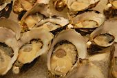 Oyster Close Up