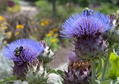 Purple Thistle Flowers With Honey Bees