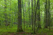 Old Oaks In Summer Misty Forest