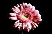 Foto Of Pink Flower On Black Background