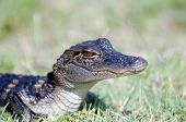 picture of alligators  - A baby American alligator in the grass along the shoreline of a Florida swamp - JPG