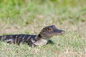 stock photo of alligator baby  - A baby American alligator in the grass along the shoreline of a Florida swamp - JPG