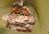 Paper Wasp Crawling Right Side View