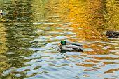Drake Swimming In The City Park Lake poster