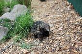foto of ant-eater  - australian echidna in the bush looking for food - JPG