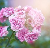 Bush Of Roses With Faded Pink Flowers On A Summer Evening, Close Up poster
