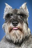 Schnauzer. Close-up Portrait