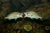 White Gruntfish
