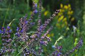 Meadow Clary, Meadow Sage, Salvia Pratensis. Beautiful Purple Flowers On Wild Meadow. Medicinal Herb poster