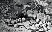Snakes are born from eggs. Engraving by  Clos from picture by  Doering. Published in magazine