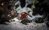 Crab In The Shell. Cancer Hermit Crawling On The Rocks. Macro Shot Of A Hairy Red Hermit Crab Underw poster