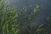 Balrush Plants And A Pond In Faded Green And Leady Blue Colors. Calming Nature Details: Sunlit Lake  poster