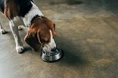 Adorable Beagle Dog Drinking Water From Bowl poster
