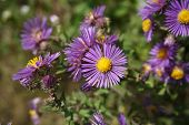 New England Asters (symphyotrichum Novae-angliae), Also Called The Michaelmas Daisy, Bloom In Joliet poster