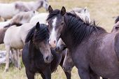 portrait of beautiful wild horses with long mane while graze in the meadow poster