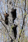 Drei Schwarzbär-jungen in einem Baum