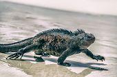 Galapagos Marine Iguana walking on Tortuga bay. Male Marine iguana on beach on Santa Cruz Island, Ga poster