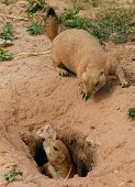 Prairie Dog couple
