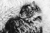 Black And White Photography Of Sleeping Tabby Cat On White Fluffy Carpet. Black Cat Collar Around Ne poster