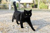 picture of black cat  - beautiful black cat walking in the garden - JPG