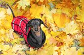 Top View  Portrait Of A Dachshund Dog, Black And Tan, In A Red Sweater Stands On The Ground Full Of  poster