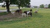 Horses, Ponies And Miniature Ponies Playing And Grazing In The Amish Field poster