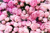 Floral Carpet Or Wallpaper. Background Of Pink Peonies. Morning Light In The Room. Beautiful Peony F poster