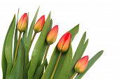 Постер, плакат: Красные тюльпаны