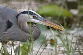Closeup of Great Blue Heron Stalking its Prey