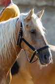 Horse Head Close Up. Harnessed Thoroughbred Stallion. Breeding Stallion. Concept Equestrian Competit poster