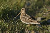 foto of snipe  - South American snipe on the grass in the laguna Nimez in Patagonia Argentina - JPG