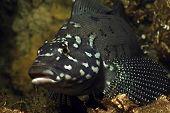 Kelp Greenling