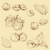 stock photo of hazelnut tree  - Set of highly detailed hand drawn hazelnuts - JPG