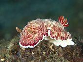 Nudibranch chromodoris reticulata