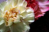 Pink And Yellow Carnations2
