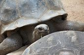 image of carapace  - Old giant tortoise of the Seychelles islands looking over its mate - JPG