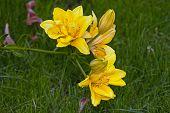 Yellow Flower Lilium