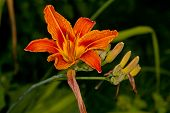 Orange Flower Hemerocallis