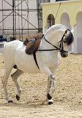 A beautiful white stallion performing