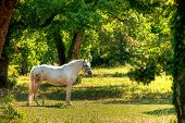 stock photo of lipizzaner  - Lipica horse on pasture in hot summer - JPG