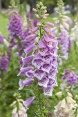 Fresh blooming purple foxglove